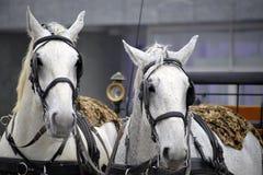 Två vita hästar Royaltyfria Bilder