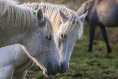 Två vita hästar som trycker på huvud, Irland Arkivfoto