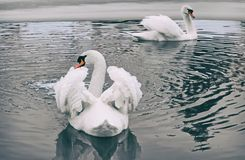 Tv? vita svanar p? sj?n i vinter fotografering för bildbyråer