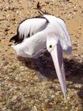 Tvagning och skrapa för pelikan Royaltyfri Fotografi