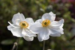 Tvilling- anemoner arkivbild