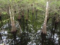 Tvilling- cypressträd reflekterade i ursprungligt vatten royaltyfria bilder