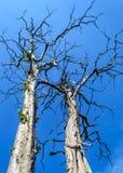 Tvilling- dött träd på blå himmel fotografering för bildbyråer