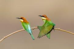 Tvilling- fåglar på bambufilial Royaltyfri Foto