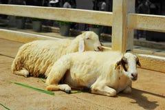 Tvilling- får i lantgården Arkivfoto