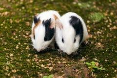 Tvilling- försökskaniner royaltyfri bild