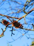 Tvilling- fjärilar mot den blåa himlen royaltyfria bilder