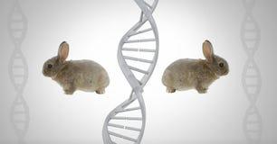 Tvilling- kaniner för klon med genetiskt DNA Royaltyfri Fotografi