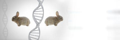 Tvilling- kaniner för klon med genetiskt DNA Fotografering för Bildbyråer