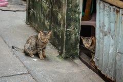 Tvilling- katter som ser vilda Fotografering för Bildbyråer