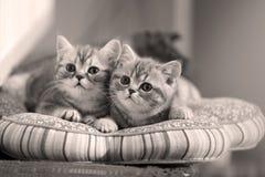 Tvilling- kattungar behandla som ett barn Arkivbild