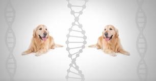 Tvilling- labrador för klon hundkapplöpning med genetiskt DNA Arkivfoto