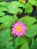 Tvilling- Lotus royaltyfri foto