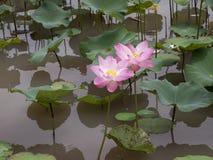 Tvilling- lotusblomma Arkivbilder