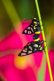 Tvilling- mal för tigergräsborr Fotografering för Bildbyråer