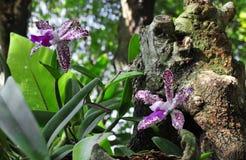 Tvilling- orkidé på stammen Fotografering för Bildbyråer