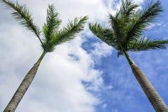 Tvilling- palmträd Royaltyfri Fotografi