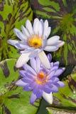 Tvilling- purpurfärgad lotusblomma i lagun royaltyfri fotografi