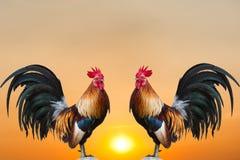 tvilling- roosterssoluppgång Arkivfoton