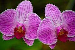 Tvilling- rosa orkidér Arkivbilder
