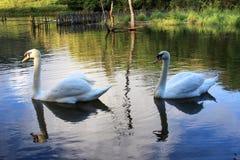 Tvilling- svan Royaltyfri Fotografi