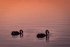 Tvilling- svan i en sjö i rosa skymning royaltyfri foto