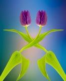 Tvilling- tulpan royaltyfria bilder