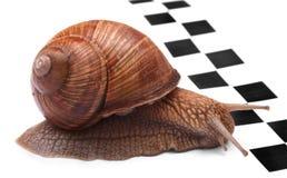 tävlings- snail Arkivfoton