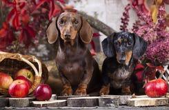 Tvo达克斯猎犬在秋天背景中 免版税图库摄影