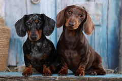Tvo Dachshund dog marble Royalty Free Stock Photography