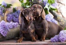 Tvo Dachshund dog Royalty Free Stock Images