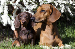 Tvo dachshund and spring flowers Royalty Free Stock Image