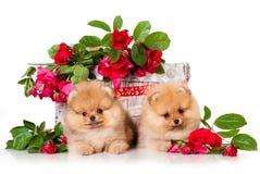 Tvo del perro de Pomerania de Pomeranian Fotografía de archivo