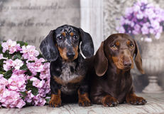 Tvo dogs dachshund Royalty Free Stock Image