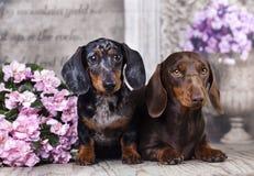 Tvo dogs dachshund Royalty Free Stock Image