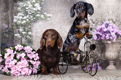 Tvo dogs dachshund Stock Images