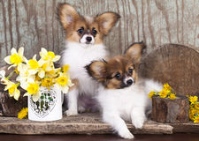 Tvo papillon puppies. Butterfly dog, papillon puppies in wood background stock images