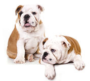 Tvo puppies in white background royalty free stock photography
