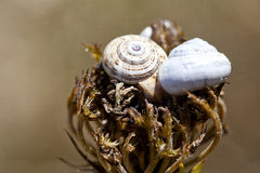 Tvo snail shells. Tvo  snail shells on a plant Royalty Free Stock Image