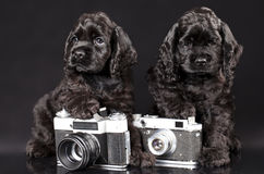 Tvo   spaniel puppies Royalty Free Stock Image