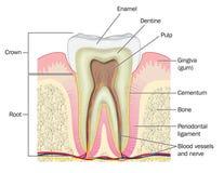 Tvärsnitt till och med tanden Arkivfoto