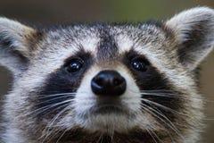 Tvättbjörnögon Arkivfoto
