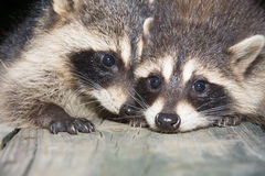 Tw baby raccoon Stock Images