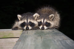Tw baby raccoon Royalty Free Stock Photography