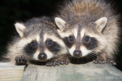 Tw baby raccoon Royalty Free Stock Photo
