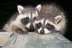Tw baby raccoon Royalty Free Stock Image