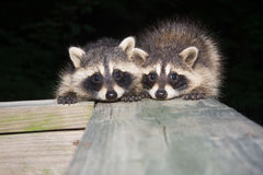 Tw baby raccoon Stock Photo