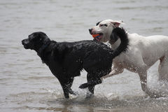 Tw dogs playing in water Royalty Free Stock Images