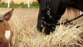 Tw horses feeding hay outofdoors close up video. Different color two beautiful horses feeding hay outofdoors close up video stock video
