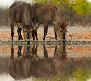 Tw waterbucks drinking from a eaterhole with good water reflection in Ongava reserve, etosha, namibia Stock Photography